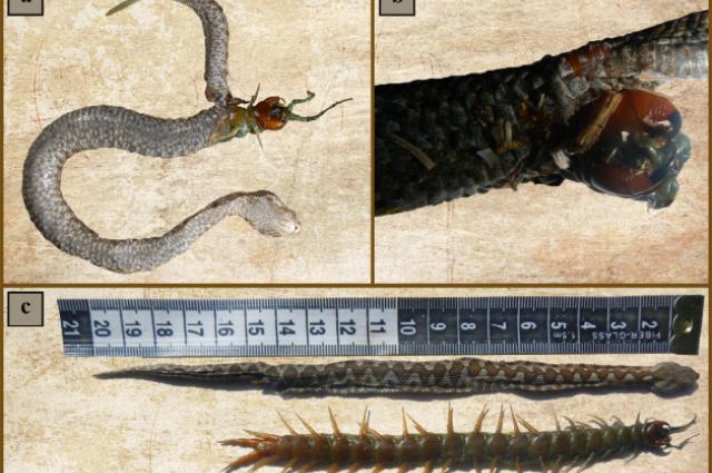 FOTKA DNE: Hladový had si vybral špatnou kořist k obědu